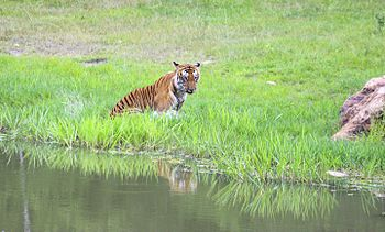 Tiger and its Reflection.jpg