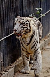 Tiger mighty.jpg