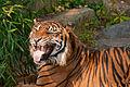 Tiger teeth.jpg