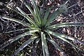Tillandsia utriculata (gaint airplant) 2.jpg