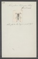 Tomopterus - Print - Iconographia Zoologica - Special Collections University of Amsterdam - UBAINV0274 033 15 0005.tif