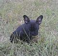 Tosha the Frenchton.jpg