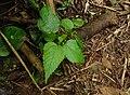 Toxicodendron radicans - poison ivy - Jelatang - Mount Tambora - Sumbawa - Indonesia.jpg