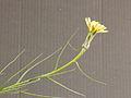 Tragopogon crocifolius 007.JPG