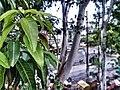 Tree Bhopal.jpg