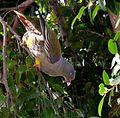 Treron calvus glaucus, in vyeboom, q, Pretoria.jpg