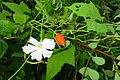 Trichosanthes cochinchinensis NCT.jpg