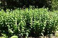 Tricyrtis hirta - VanDusen Botanical Garden - Vancouver, BC - DSC07154.jpg