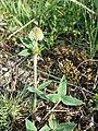 Trifolium montanum (subsp. montanum) sl3.jpg