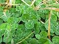 Trifolium subterraneum leaf3 (10734316096).jpg