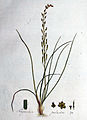 Triglochin palustre — Flora Batava — Volume v1.jpg