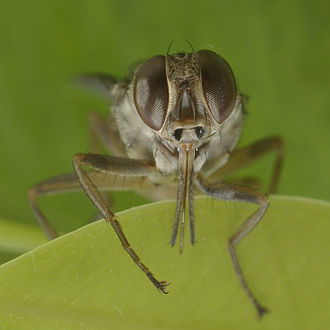 Tsetse fly - Tsetse fly from Burkina Faso
