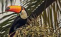Tucano Toco na palmeira.jpg