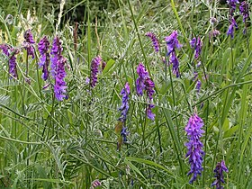 Tufted vetch 800.jpg