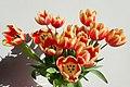 Tulipa 2019-02-12 5588.jpg