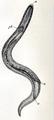 Turbellaria 003.png
