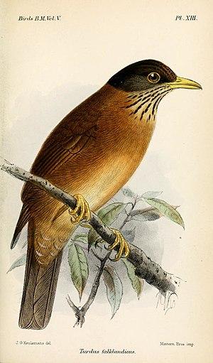 Austral thrush - Falkland thrush, illustration by Keulemans, 1881