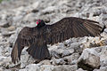 Turkey Vulture wings 5243.jpg