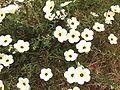 Turnera subulata-2-xavier cottage-yercaud-salem-India.JPG