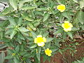 Turnera ulmifolia-2-xavier cottage-yercaud-salem-India.JPG