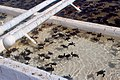 Turtle Farm - Baby Turtles (3888111023).jpg