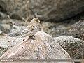 Twite (Carduelis flavirostris) (49182507256).jpg