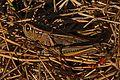 Two-striped Grasshopper - Melanoplus bivittatus, Coldstream Cemetery, Vernon, British Columbia.jpg