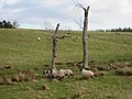 Two dead trees - geograph.org.uk - 674159.jpg