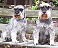 Two miniature schnauzers (female and male).jpg