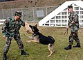 US Navy 070214-N-2970T-001 Command Fleet Activities Sasebo (CFAS) Security Officer, Lt. Alphonso Navarro (left) experiences firsthand the power of Military Working Dog.jpg