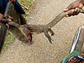 Un varan tué à Pobé.jpg