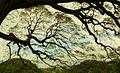 Under a Monkeypod Tree-Moanalua Gardens - panoramio.jpg