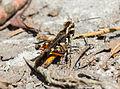 Unidentified Acrididae at Mangunan Orchard, Dlingo, Bantul, Yogyakarta 01.jpg