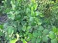 Unidentified Plants - പേരറിയുമോ - 2012-10-25 - 3.jpg