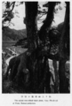 United root-stilted black pines at Utani.png
