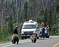 Ursus arctos horribilis (grizzly bears) (Yellowstone, Wyoming, USA) (31013164254).jpg