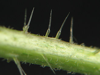 Urticating hair - Urticating hairs of a stinging nettle