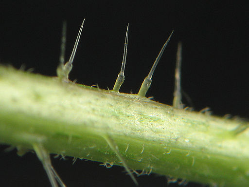 Urtica dioica stinging hair