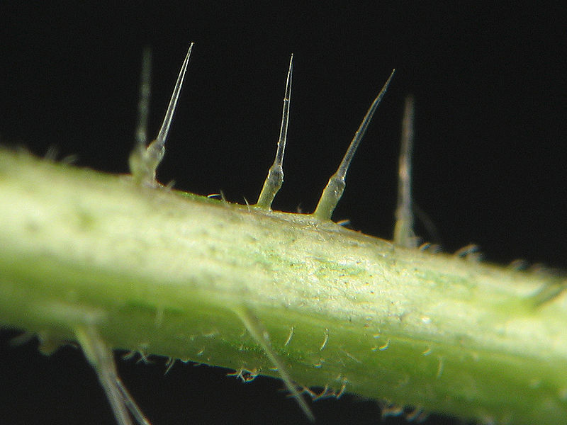 File:Urtica dioica stinging hair.jpg