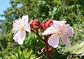 Urucum - flor.jpg