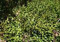 Vaccinium myrtillus 15.07.2012 p.jpg