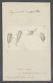 Vaginicola innata - - Print - Iconographia Zoologica - Special Collections University of Amsterdam - UBAINV0274 113 20 0002.tif
