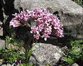 Valeriana officinalis PID1794-1.jpg