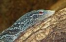 Varanus macraei - Reptilium Landau 01.jpg