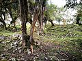 """Vegetació de """"ceja de selva"""" (selva alta) entre les ruïnes de Chachapoyas02.jpg"""