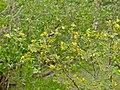 Velvet Raisin (Grewia flava) (11422917686).jpg
