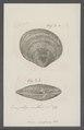 Venus graphica - - Print - Iconographia Zoologica - Special Collections University of Amsterdam - UBAINV0274 077 11 0031.tif