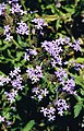 Verbena corymbosa (8726585561).jpg