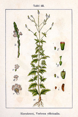 Verbena officinalis Sturm22