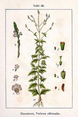 Verbena officinalis Sturm22